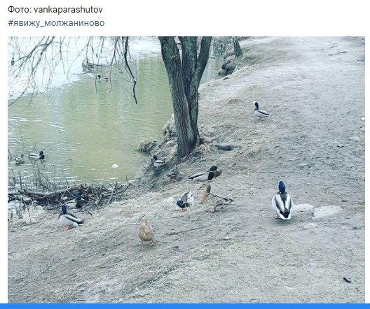 """Утки в Молжаниновском ходят пешком. Фото - скриншот из паблика """"Молжаниново и Подрезково"""""""
